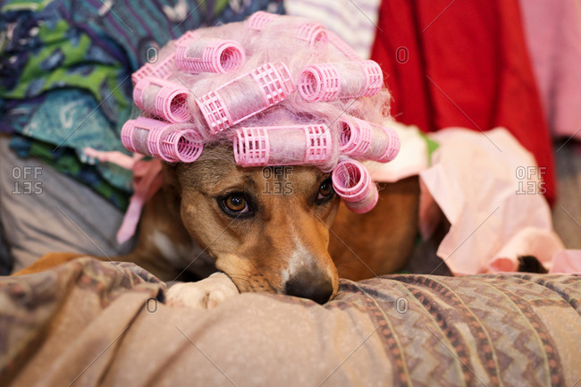 Dog wearing a wig with hair curlers