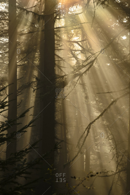 Sunlight seeping through a foggy forest in San Juan Islands, Washington