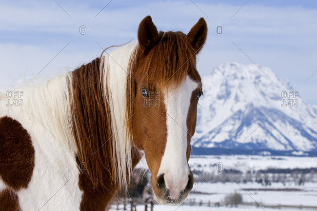 Pinto horse with Mount Moran in the background, Wyoming