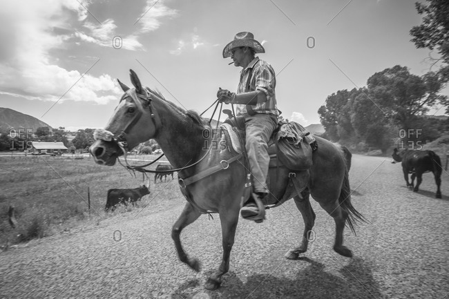 Cowboy with cattle on horseback