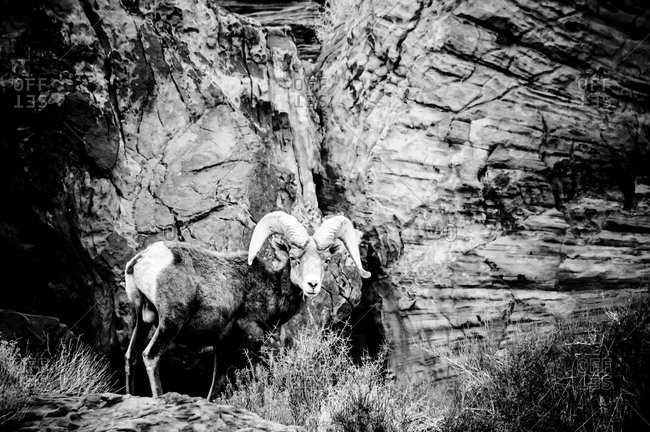 Desert bighorn sheep at the Valley of Fire State Park, Nevada