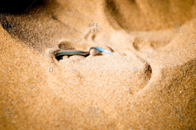 Fitzsimon's Burrowing Skink in the Namib Desert, Namibia