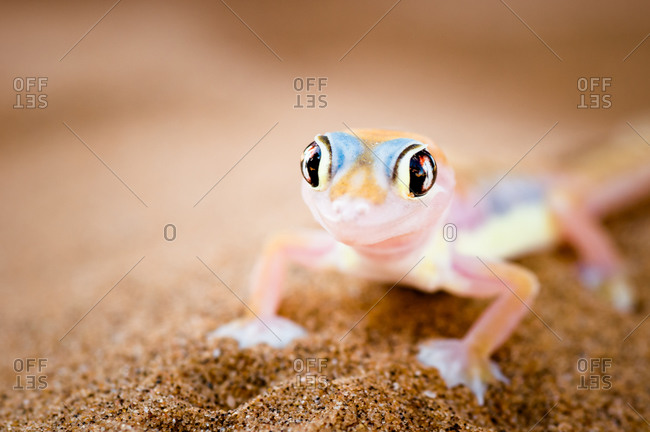 Namib Dune Gecko in the Namib Desert, Namibia