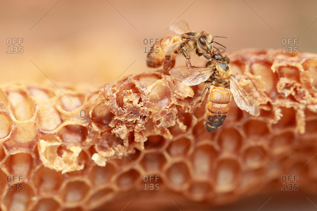 Two bees working on honeycomb