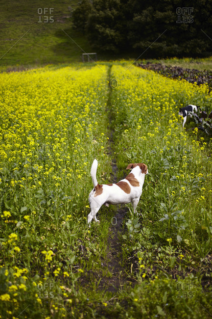 Dog standing in a field in Bolinas, California, USA