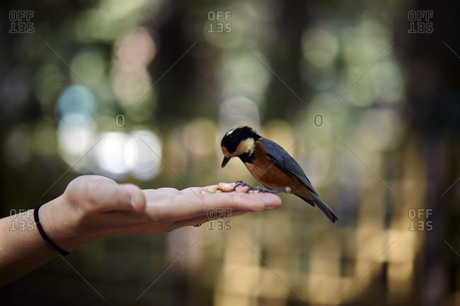 Person feeding a songbird in Yoyogi Park, Tokyo, Japan