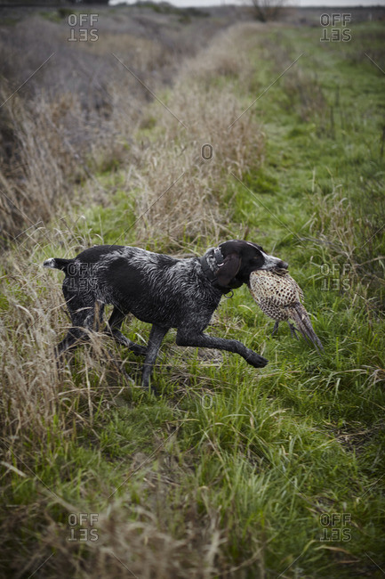 Pointer carrying a pheasant in its mouth