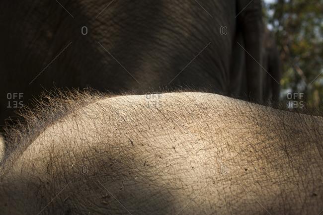 Hairs on an elephant's back