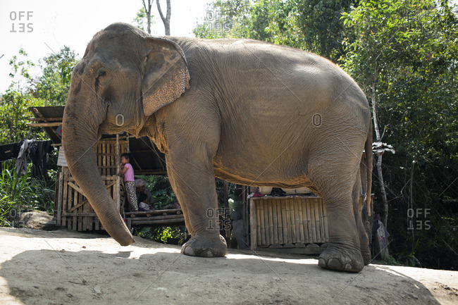 February 12, 2015: Asian elephant in Chiang Mai, Thailand