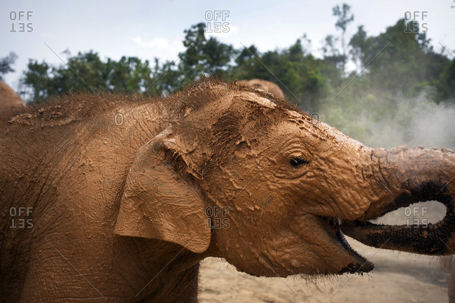 Close up of a muddy baby elephant