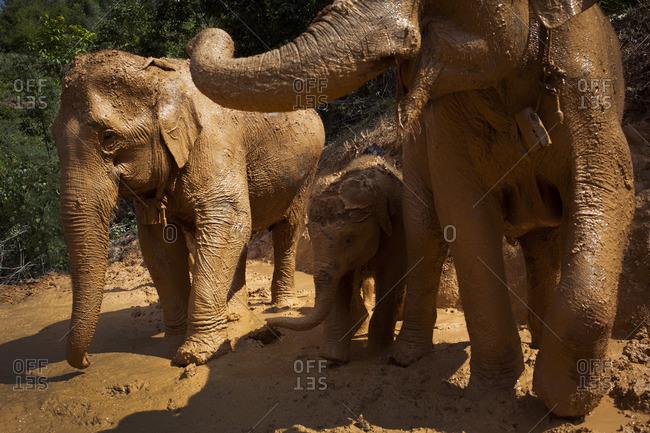 Muddy Asian elephants in Chiang Mai, Thailand