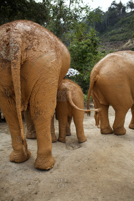 Back view of muddy Asian elephants