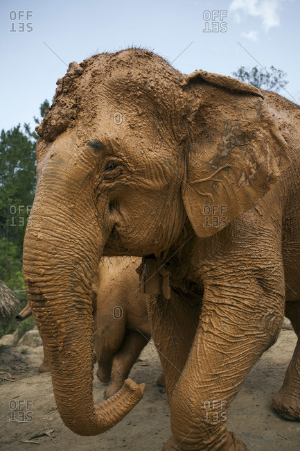 Asian elephant covered in mud