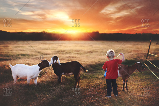 Boy standing in a field with goats at sunset