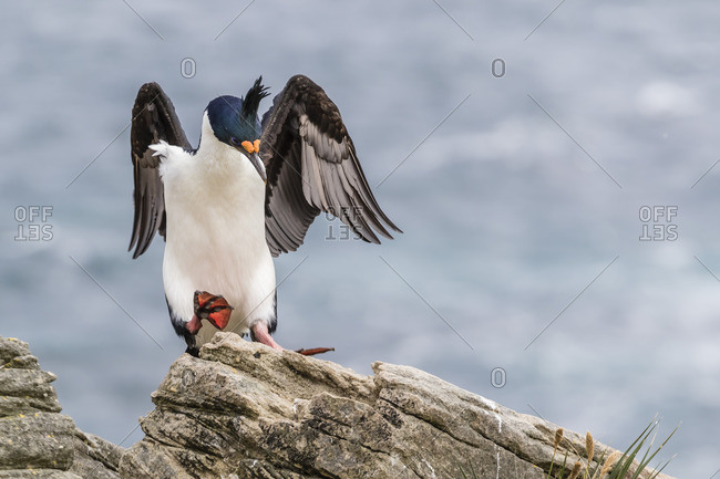 An adult imperial shag landing, New Island, Falkland Islands