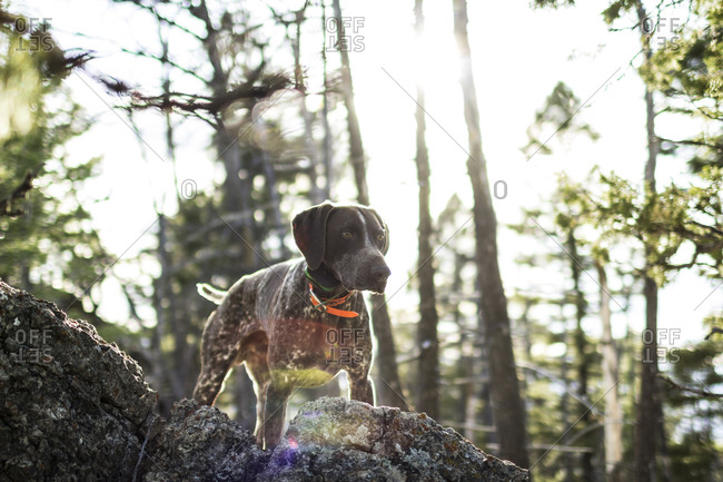 A young hunting dog holds a point for a bird he smells in the forest