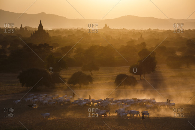 Cow herders taking their herd home at sunset through the temples of Bagan, Myanmar