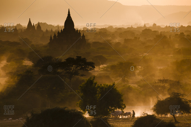 A cow herder taking herd home through temples of Bagan, Myanmar