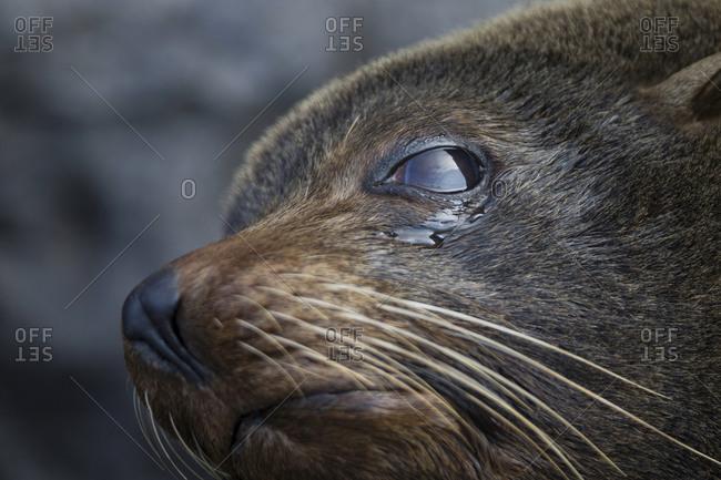 Galapagos fur seal, Genovesa Island, Galapagos Islands, Ecuador
