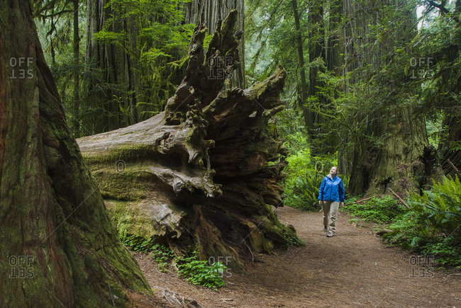 Woman by fallen Redwood Tree in Redwood National Park, California