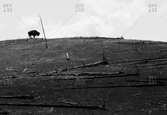 Lone buffalo stands on a hill among dead trees