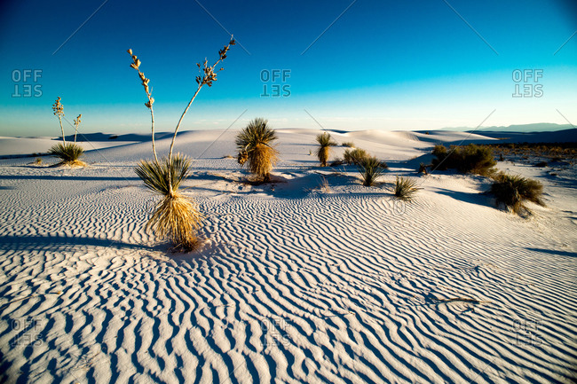 Soaptree Yucca plants at White Sand Dunes National Park in New Mexico