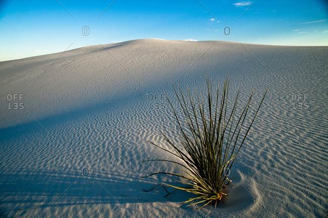 Plant growing at White Sand Dunes National Park in New Mexico