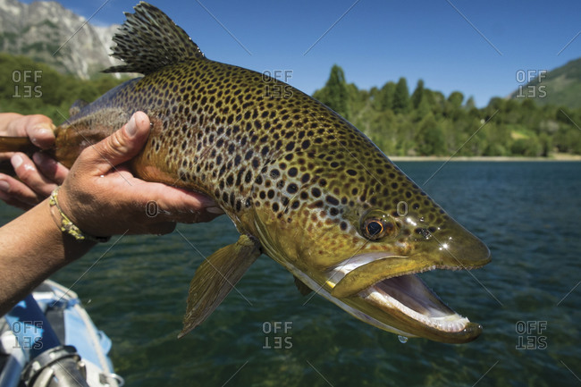 Brown trout caught in Rio Manso near Bariloche, Argentina
