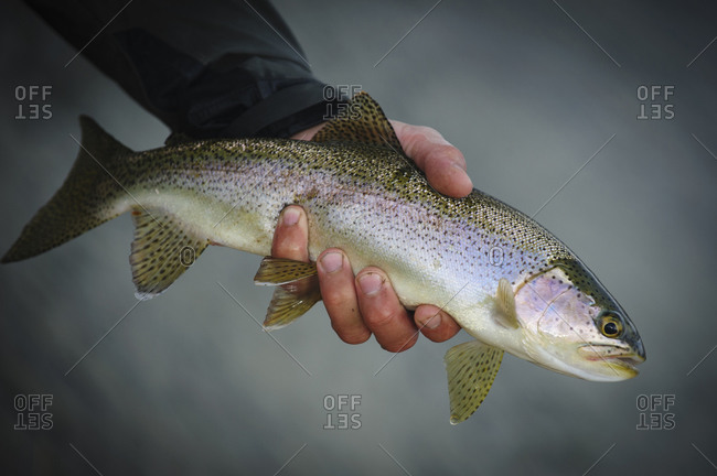 Angler releasing rainbow trout back into river in Argentina