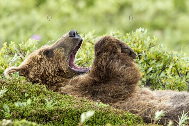 Brown bear resting in is back in Katmai National Park, Alaska