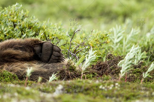 Brown bear claws in Katmai National Park, Alaska