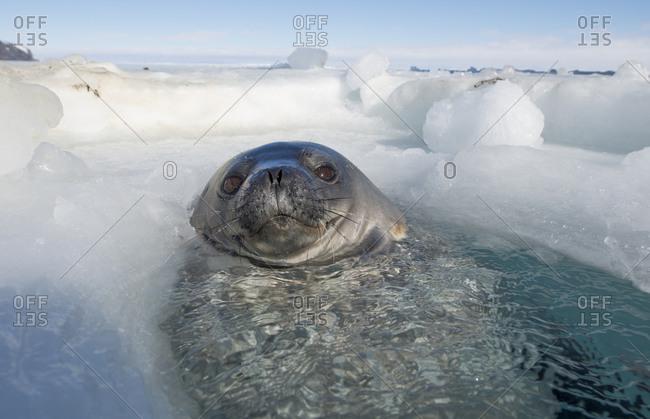 Weddell seal in breathing hole in Erebus Bay, Antarctica