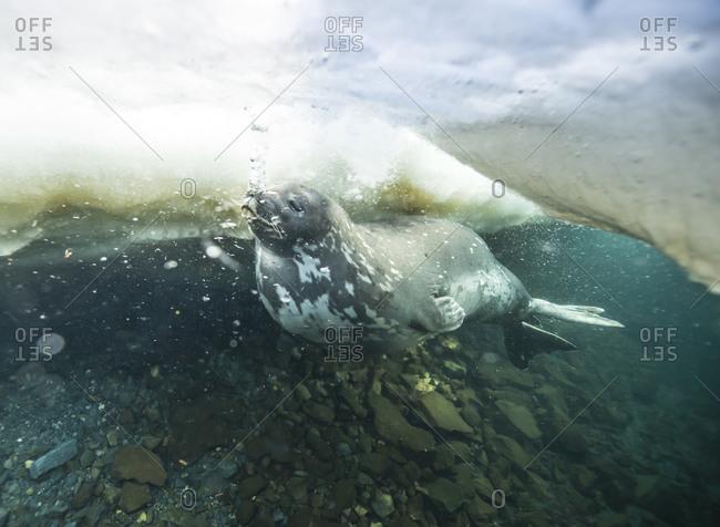 Weddell Seal swimming in Ross Sea, Antarctica