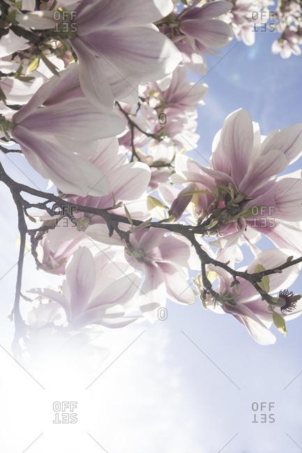 Blossoms of magnolia tree - Offset