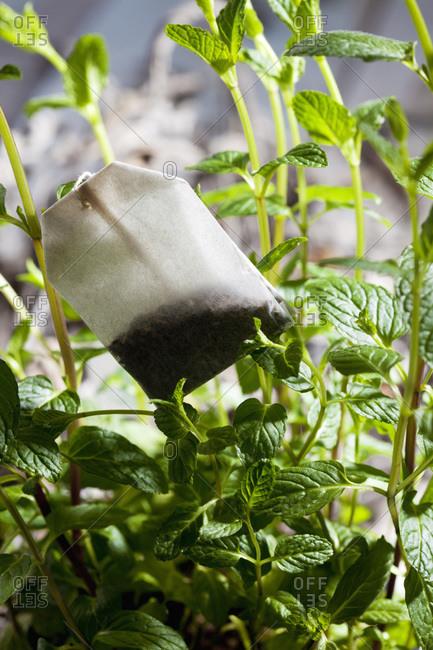 Fresh pepper mint and tea bag