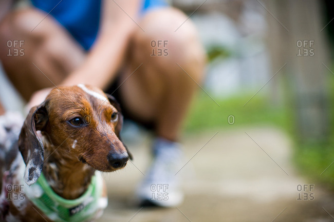 Person bathing his Dachshund outdoors