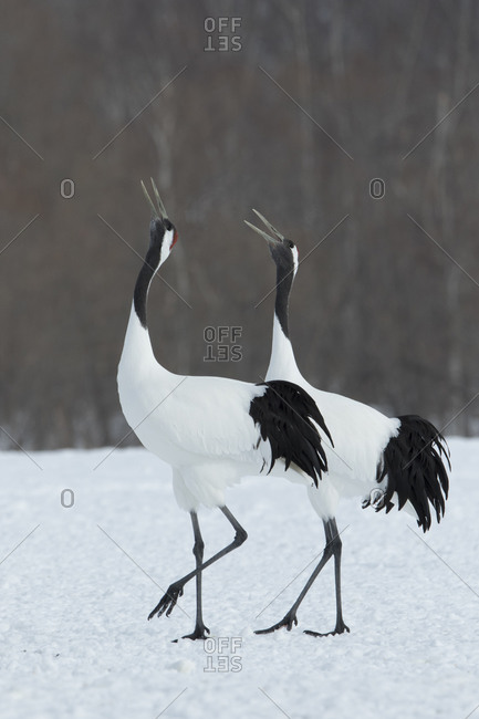 Two red-crowned cranes in Japanese winter field