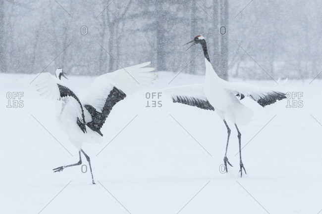 Two red-crowned cranes on ground squawking