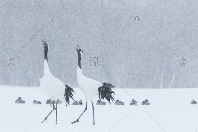 Two red-crowned cranes in snowy field