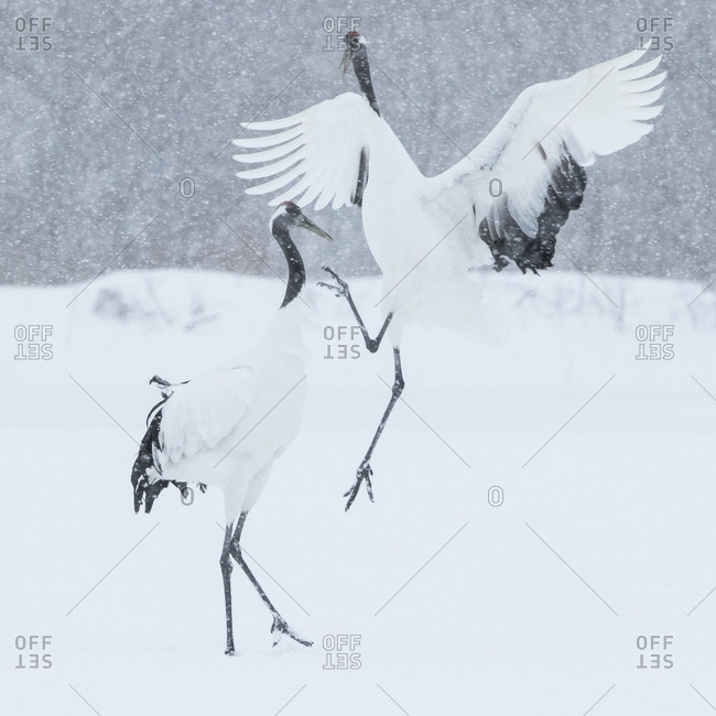 Two red-crowned cranes fighting in snowy field
