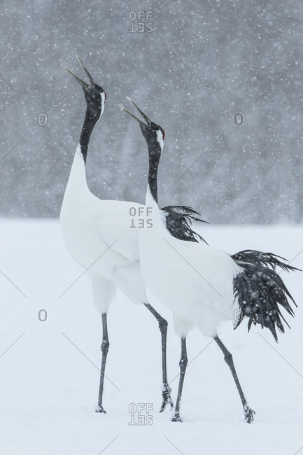 Two red-crowned cranes in snowy field calling
