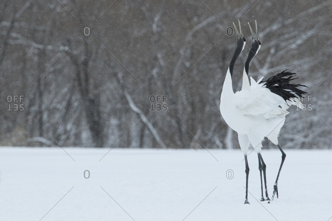Two Japanese cranes grazing in snowy field