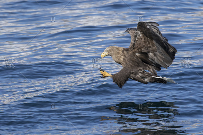 White-tailed eagle hunting for fish