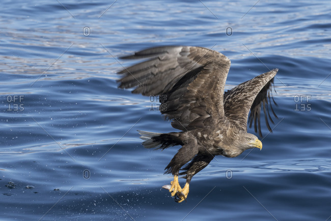 White-tailed eagle clutching caught fish