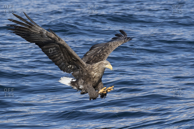 White-tailed eagle catching fish in sea