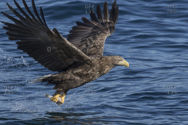 White-tailed eagle fishing in ocean