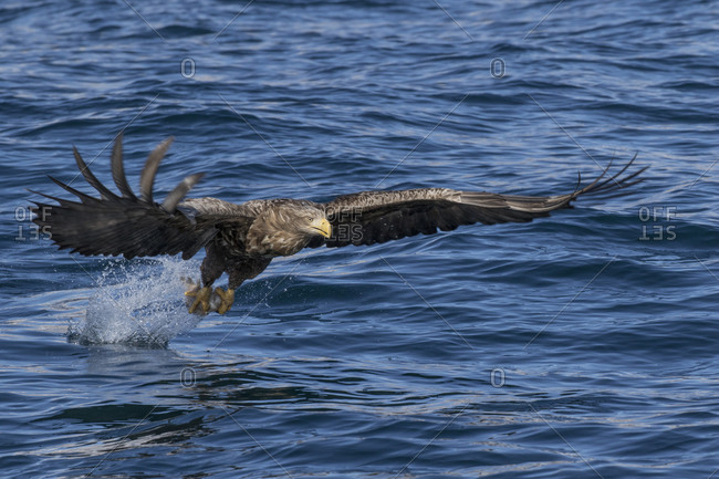 White-tailed eagle hunting fish in ocean