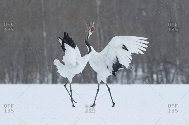 Japanese red-crowned cranes in winter field