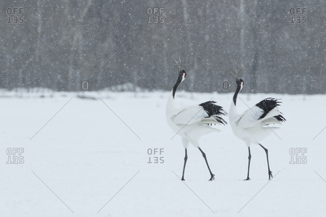 Japanese red-crowned cranes standing in winter field