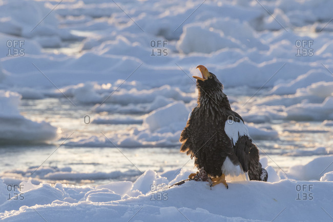 Steller's sea eagle perched on ice floe squawking